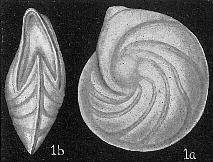 Robulus vortex