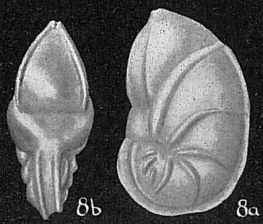 Saracenaria sp.