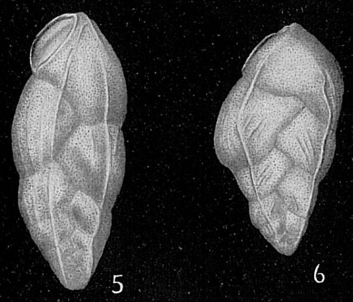 Bolivina subangularis var. lineata