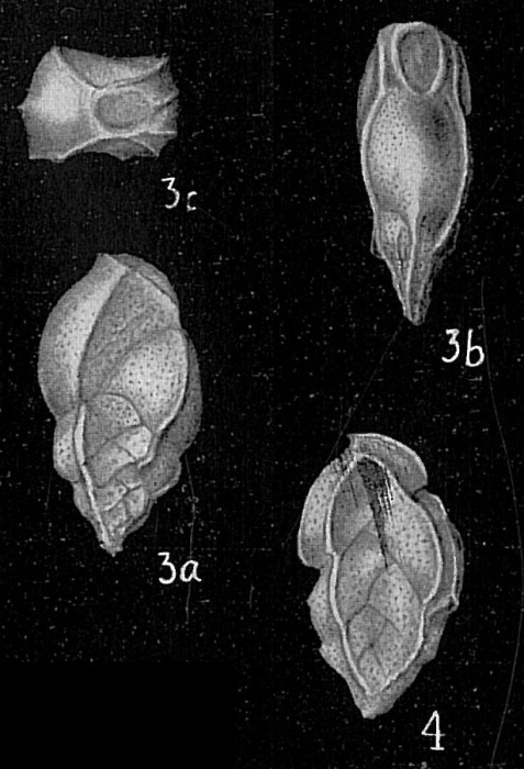Bolivina subangularis