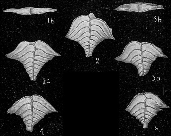 Rugobolivinella elegans
