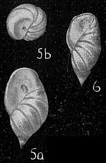 Buliminella madagascariensis spicata