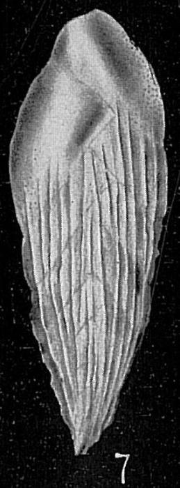 Loxostomum karrerianum var. carinatum