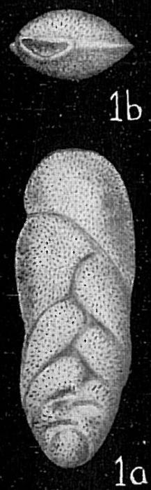 Loxostoma limbatum