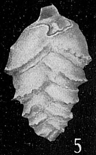 Loxostoma lobatum