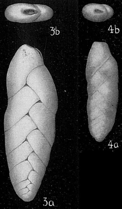Loxostoma rostratum