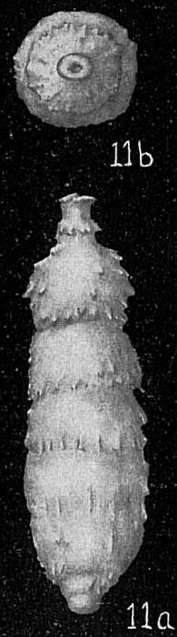 Strictocostella spinata