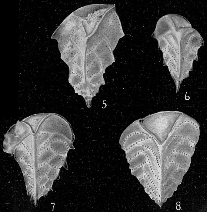 Reussella spinulosum