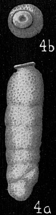 Siphogenerina dimorpha pacifica