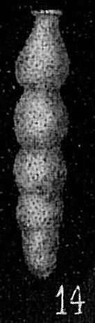 Siphonodosaria