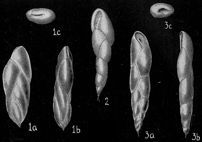 Virgulina pauciloculata