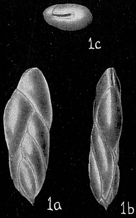 Virgulina schreibersiana
