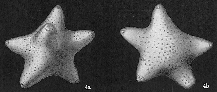 Baculogypsina sphaerulata