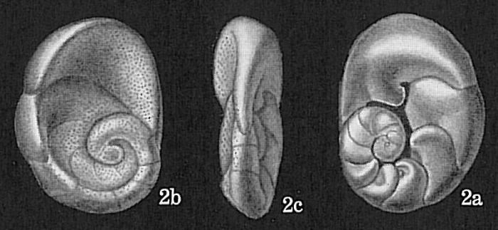 Bronnimannia haliotis