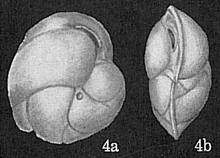 Cassidulina carinata