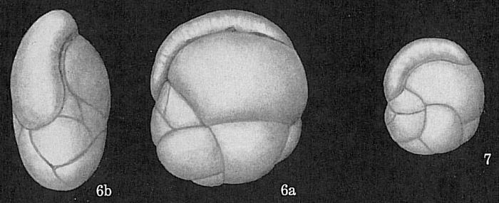 Cassidulina delicata