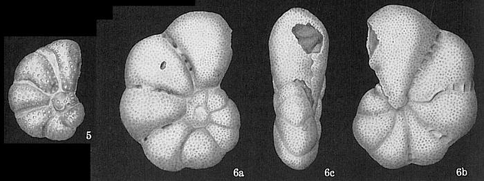 Epistomaroides polystomelloides