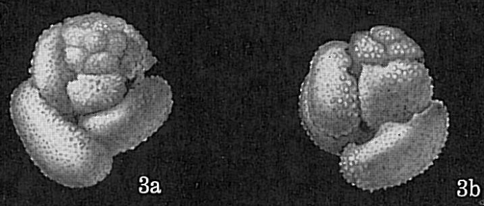 Globigerinoides conglobatus