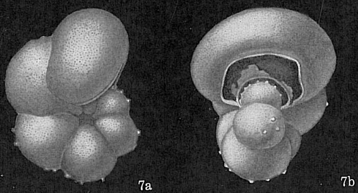 Hastigerina pelagica