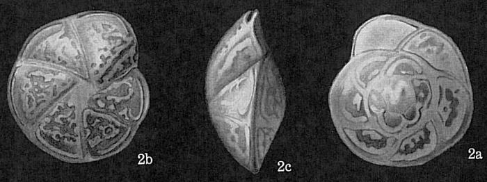 Hoeglundina elegans