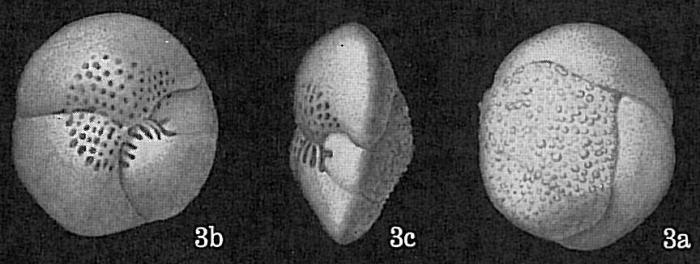 Hofkerina semiornata