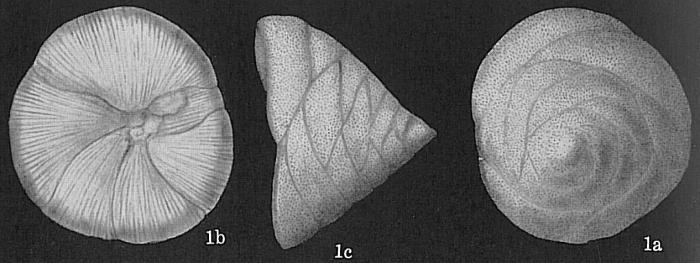 Neoconorbina patelliformis