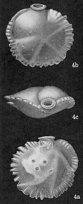 Siphonina tubulosa