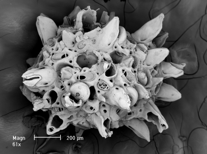 Osthimosia glomerata