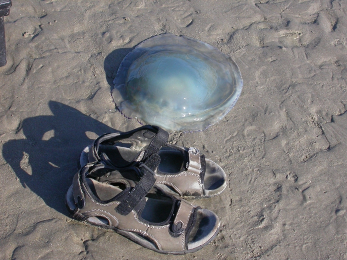 zeepaddestoel