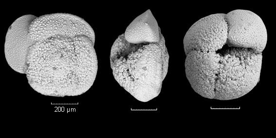 Globorotalia crassaformis hessi