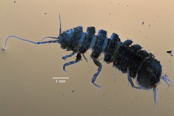 Proasellus coxalis