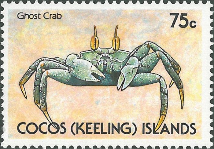 Ocypode ceratophthalmus