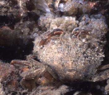 Liocarcinus arcuatus (Leach, 1814)