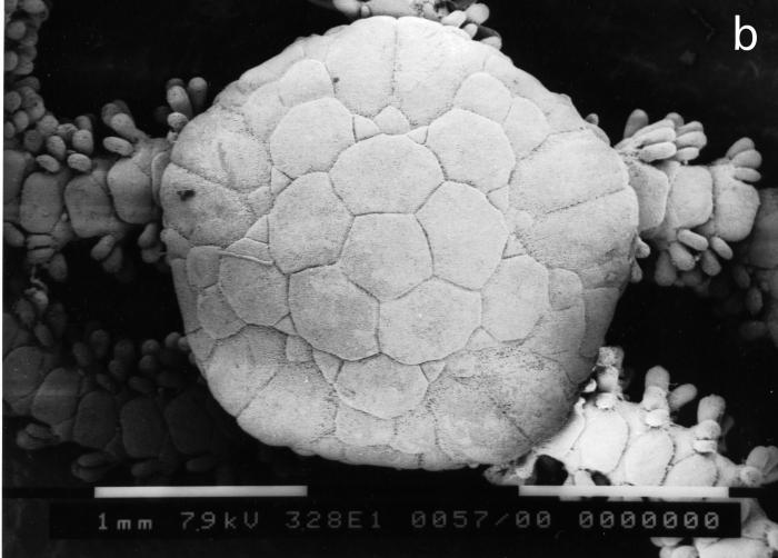 Amphipholis linopneusti