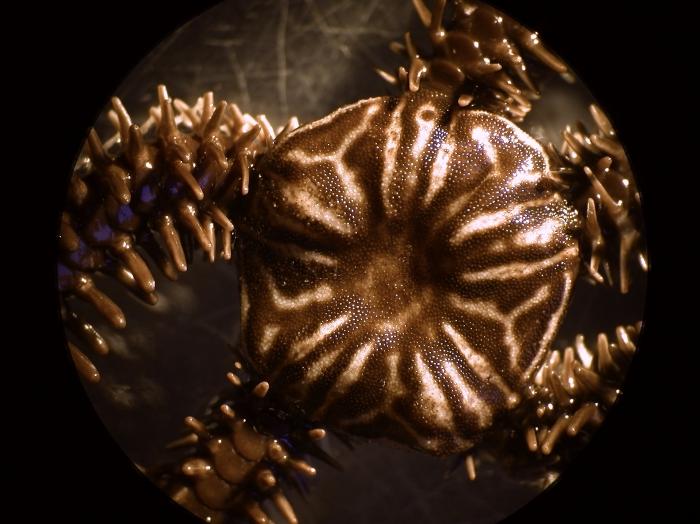 Ophiocoma erinaceus