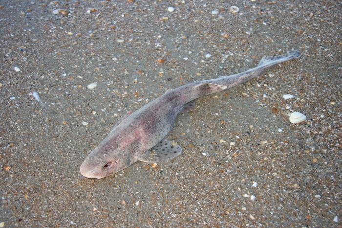 Hondshaai - Scyliorhinus canicula