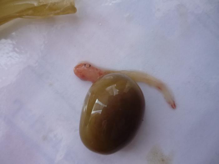 Hondshaai embryo