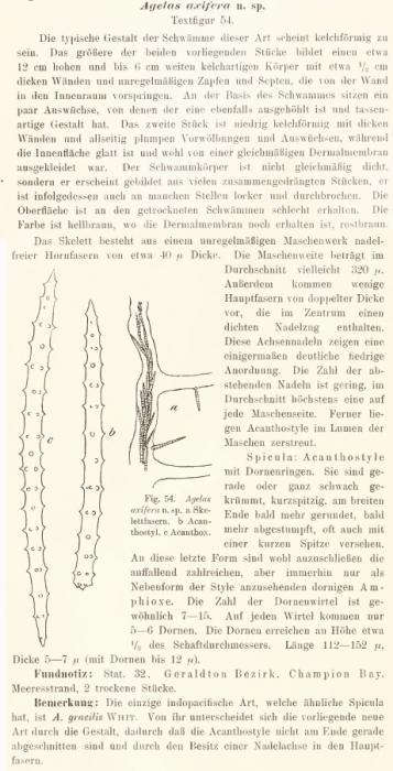 Agelas axifera Hentschel, 1911