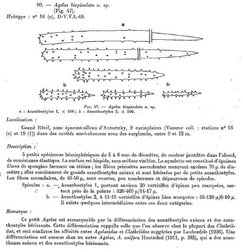 Agelas bispiculata Vacelet et al. 1976