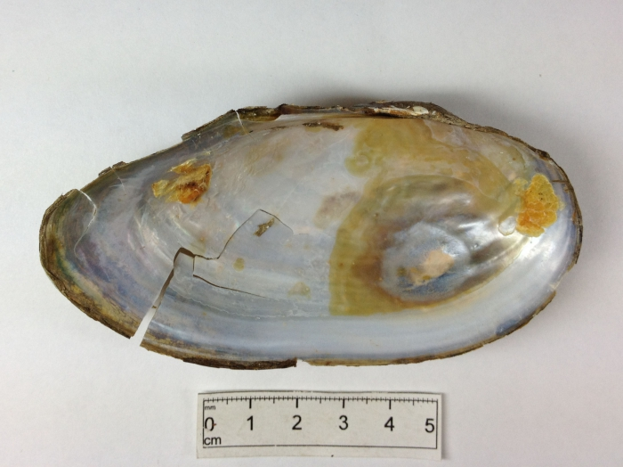 Anodonta cataracta - shell interior