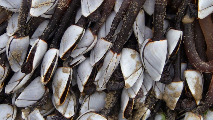 Eendenmossels bij Ster der Zee