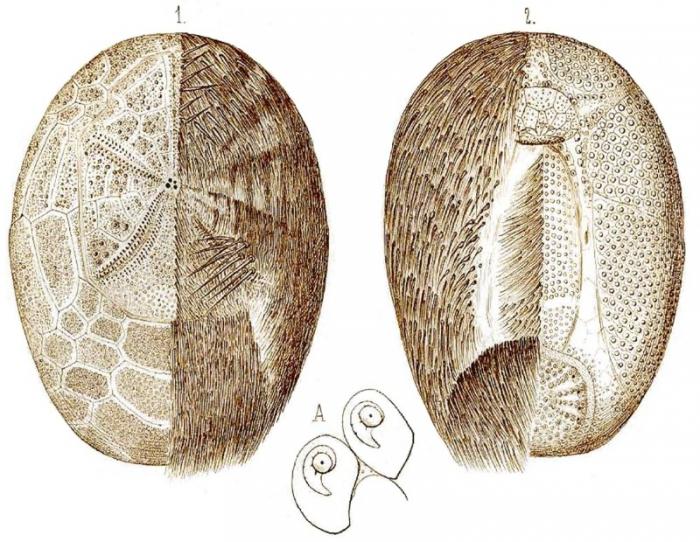 Rhabdobrissus costae (Gasco, 1876)