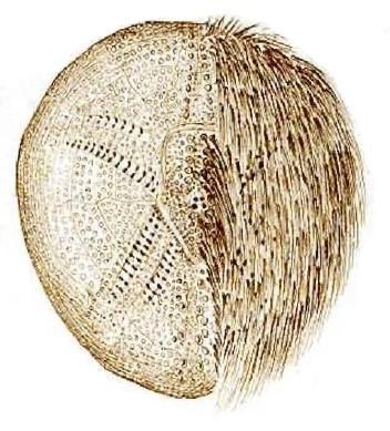 Echinocardium flavescens