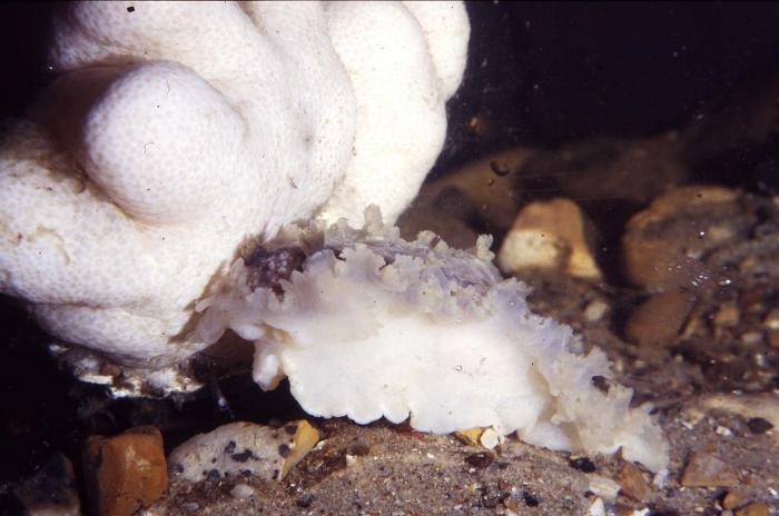 Tritonia hombergii