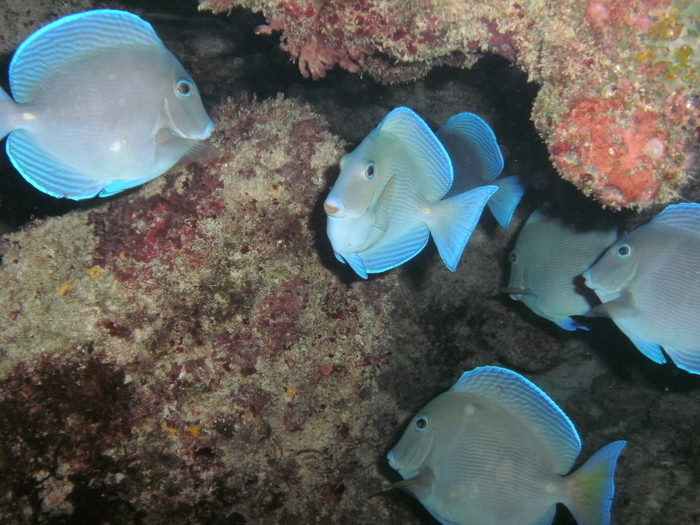 Acanthurus coeruleus