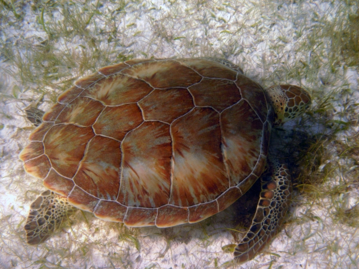 Chelonia mydas
