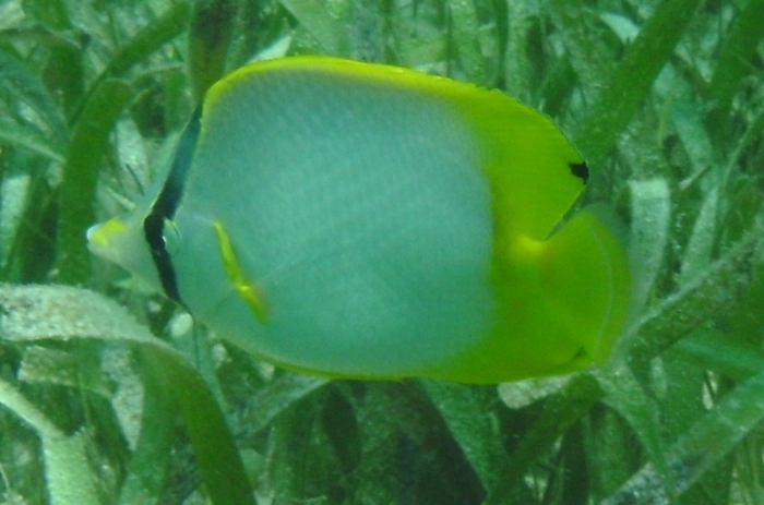 Chaetodon ocellatus