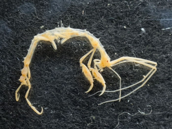Aeginina longicornis - skeleton shrimp