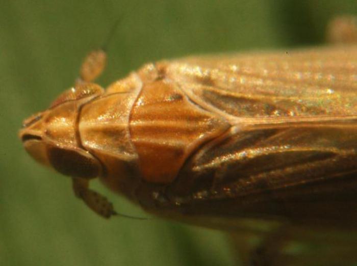 Prokelisia marginata (top view)