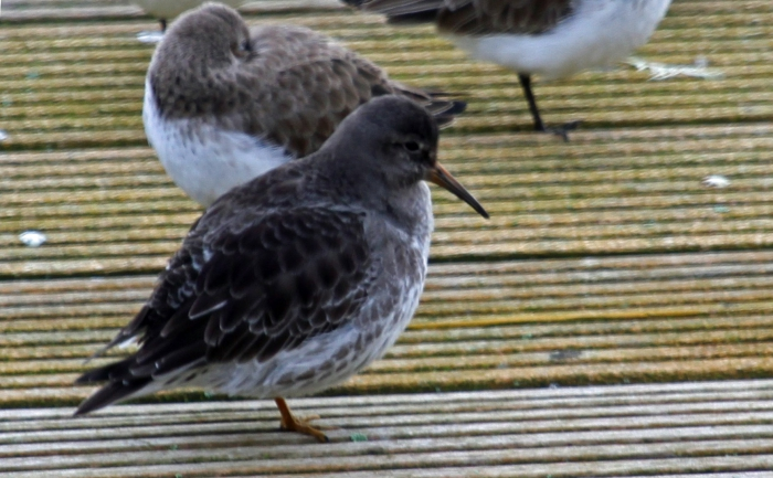 Purple sandpiper (Calidris maritima)